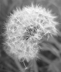 nothing's last forever, and we both know hearts can change. (Julia Kla.) Tags: old blackandwhite bw nature canon photography eos natur dandelion bm wishes blacknwhite löwenzahn pusteblume teenphotography dsrl youngphotography 1000d canoneos1000d