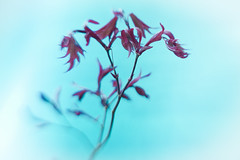 Said she was a dancer (tvc415) Tags: red blur leaves spring japanesemaple onblue