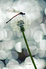 The shining (Joo Pedro Soares) Tags: macro portugal nature dragonfly bokeh natureza explore fafe macromundo macroextreme 105mmf28gvrmicro macrolife jp3soares joopedrosoares
