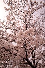 Cherry blossom (J.T.8.7) Tags: color digital snap foveon dp1