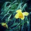 129/366: Beaten (Squatbetty) Tags: sad bokeh daffodil raindrops feelingpoorly