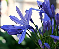 Blue inflorescence