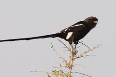 Picanço-rabilongo // Magpie Shrike (jvverde) Tags: picançorabilongo magpieshrike laniusmelanoleucus urolestesmelanoleucus southafrica krugernationalpark kruger nationalpark ave aves bird birds avifauna nature natureza geo:lat=2523437107184222 geo:lon=31545582417968717 geotagged corvinellamelanoleuca wildbird wildlife wild selvagem birding birdwatch aoarlivre pássaros pássaro bir natural oiseau vogel 鸟 鳥 पक्षी птица pájaro طائرپرنده 새 uccello ਪੰਛੀ પક્ષી knp krugerpark áfrica áfricadosul uccelloaves emliberdade onwild nanatureza lintu طَائِر madár পাখি ფრინველები