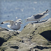 pretty little things, but by 'ek are they noisy (Black Cat Photos) Tags: uk sea england cliff bird nature canon blackcat island photography amber boat photo movement europe call pretty little action bokeh wildlife gull performance move m sparkle perform cry boattrip farne farneislands farn noisy colony staple smallest shout shortage kittiwake rissatridactyla declining farneisland stapleisland farns farnislands noisiest blackcatphotos