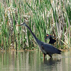 Great Blue Heron (Bill-S2001) Tags: ontario canada bird birds animal animals geese wildlife aves goose marsh waterfowl creatures creature f8 greatblueheron canadagoose brantacanadensis oakville bronte zoology ardeaherodias iso500 avain cago kenko14tc undomesticatedanimals nikond800 ev153 speed1640 af300mmf28 shotat420mm expcomp00 ffequiv420mm b201305002