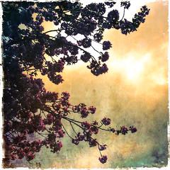 Blossom (LiesBaas) Tags: tree germany de deutschland photo pix picture blumen pic boom bloesem bloemen duitsland iphone sauerland plaatje iphotography iphonography woodcamera hipstamatic blossombyliesbaas sauerlandbyliesbaas