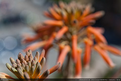 Aloe Bokeh (Ludtz) Tags: flowers blue red sea orange mer macro green yellow closeup fleurs jaune canon rouge spring bleu cote printemps mediterraneansea ambiance dazur mditerrane iso50 lelavandou 5dmkii canoneos5dmkii ludtz ef50|25compactmacro