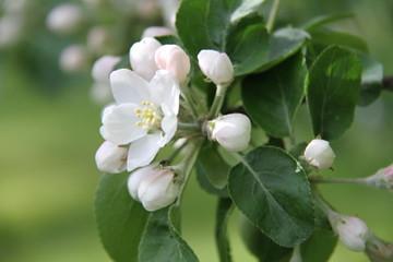 Applethree