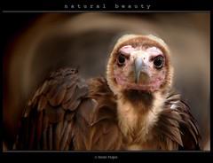 natural beauty - belleza natural (www.xavierfargas.com) Tags: portrait naturaleza bird nature birds animals fauna panasonic ave ugly animales vulture buitre feo ar1 carroero xfp dmcfz50 lumixdmcfz50 platinumheartaward p1060630 xavierfargas