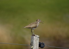 Common Sandpiper (jimbrownrosyth) Tags: commonsandpiper