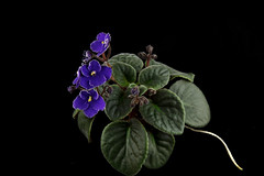 Optimara Martinique (khufram) Tags: other martinique africanviolet optimara
