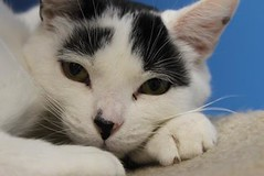 Domino(4) (Mary022378) Tags: cats kittens naperville adopt adoptpetshelter