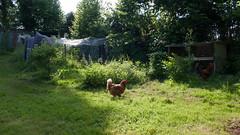 Chicken spotting food (Elise Swart) Tags: france chickens chicken garden country jardin kip flowering frankrijk poule tuin fr campagne kippen haan lafrance poules platteland bloei salie checken ldf bloeien kippenren toompje