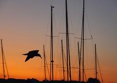Retour (back home) (Larch) Tags: coucherdesoleil sunset lagrandemotte hérault france sud south southoffrance silhouette ciel sky mâts masts retour return oiseau bird mouette seagull backhome