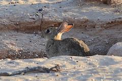IMG_0662 (nils tiburon) Tags: rabbit animals tiere conejo fuerteventura canarias animales hase costacalma