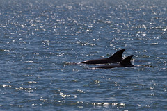Dolphins in the Shannon Estuary (Jos van der Heiden) Tags: travel ireland canon dolphin canonef70200mmf4lusm shannonestuary canoneos7d