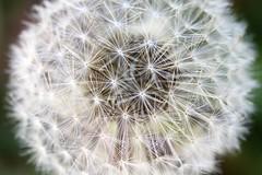 (vickisll) Tags: dandelion wish wishingflower