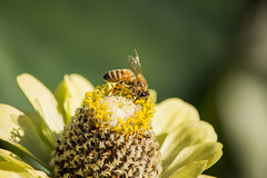 IMG_2056.jpg (Rick Deacon) Tags: flower closeup bee honey nectar pollen workerbee pollenhunting