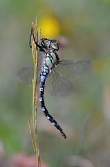 Libellule (rj@ubertsb) Tags: nature nikon sigma insecte 105mm libellules rjubertsb