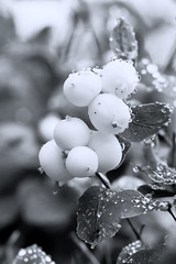 Snowberries (h_cowell) Tags: symphoricarpos snowberry snowberries photographyforrecreation helenacowell