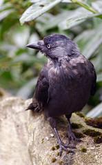 Corvus frugilegus 2