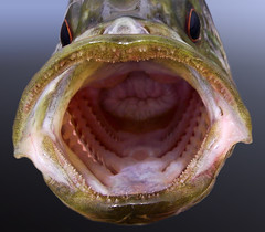 Warmouth sunfish mouth (Lepomis gulosus)