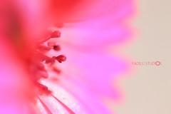 Innocence-II (Aadilsphotography) Tags: pink flowers pakistan macro photography aadils