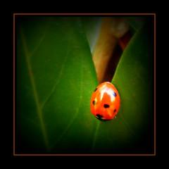 DSCF8079 Lieveheersbeestje (annelies_visser) Tags: ladybird ladybug marienkfer mariquita coccinella lieveheersbeestje btebondieu