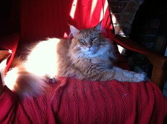 Dudley - Red Silver Mackerel Maine Coon (noonoomon) Tags: red cat silver mackerel mainecoon dudley mainecoons noonoomon