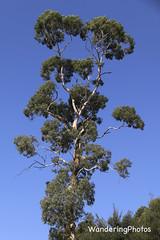 Dramatic shaped-tree - Victoria Australia (WanderingPJB) Tags: australia victoria woods trees tmt img architectural dramatic shape form colourfulworld smileonsaturday natureisanartist