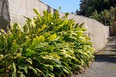 'Undercover' banana plantation (GardenTraveller) Tags: park grancanaria garden botanical spain banana covered plantation subtropical canaryislands arucas jardndelamarquesa