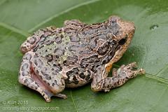 Phrynella pulchra_MG_9245 copy (Kurt (orionmystery.blogspot.com)) Tags: amphibian frog frogs tropical amphibians malacca herps herpetology pulchra amphibia herpetofauna herping malaccafrog phrynellapulchra frogsofmalaysia phrynella