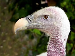 Rppell's vulture (Linda DV (away)) Tags: bird geotagged lumix spain panasonic tenerife endangered canaryislands islascanarias 2015 gypsrueppellii geomapped iucnredlist rppellsvulture lindadevolder lasguilasjunglepark