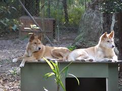 Dingos, Currumbin Wildlife Sanctuary, Australia (Yortw) Tags: dog animal lumix wildlife australia panasonic qld april sanctuary currumbin dingos 2015 microfourthirds dmcg10