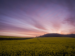 Any Colour You Like (Damian_Ward) Tags: morning sunrise landscape chilterns buckinghamshire bucks ashridge rapeseed ivinghoe ivinghoebeacon thechilterns chilternhills ashridgeestate damianward ©damianward
