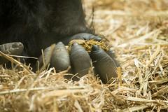 2015-05-11-09h54m38.BL7R0842 (A.J. Haverkamp) Tags: amsterdam zoo gorilla thenetherlands artis dierentuin akili httpwwwartisnl dob16101994 canonef100400mmf4556lisusmlens pobfrankfurtgermany