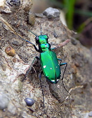 Tiger Beetle - six spotted (Salamanderdance) Tags: 6 bug insect tiger beetle spotted six carnivore