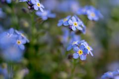 forgetmenot - わすれなぐさ (turntable00000) Tags: blue japan tokyo spring shinjuku purple stock forgetmenot gettyimages takashi isetan 2015 kitajima わすれなぐさ flickrflash