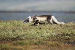 Arctic Fox (Jared Hughey) Tags: wild nature field animal alaska northwest wildlife arctic research arcticcircle kotzebue shorebird chukchisea beringia kotzebuesound capekrusensternnationalmonument asdn