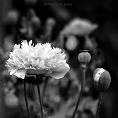 Amapolas (Martha MGR) Tags: flowers blackandwhite nature natureza amapolas flres papoulas
