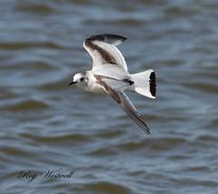 Little gull (roywez67) Tags: white bird nature water canon little gull gulls flight 7d
