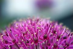150522, Allium (nathalieisaksson89) Tags: flower macro closeup canon purple seeds blomma allium purpleflower monocotyledonous canoneos400d purpleallium