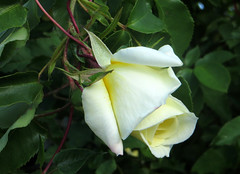 IMG_6354 (hemingwayfoto) Tags: rose flora pflanze gelb blume blte garten botanik blhen rosengewchs
