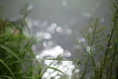 waterside (N.sino) Tags: m9 summilux50mm waterside weed