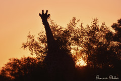 Sunset Giraffe (Sumarie Slabber) Tags: sunset giraffe krugernationalpark southafrica bush africa nikon peace silhouette yellow relax safari adventure travel