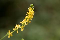 Agrimonia pilosa (mensore) Tags:  agrimoniapilosa  rosaceae flower plant autumn yellow