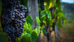 Grapes (marcmayer) Tags: vine trauben grapes wein toskana tuscany italien italia chianti