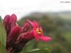 Escallonia cf. laevis (Escalloniaceae, Escalloniales), Morro da Igreja, Bom Jardim da Serra, SC, Brasil (Vinícius A.O. Dittrich) Tags: escallonia escalloniaceae escalloniales eudicots eudicotiledôneas magnoliophyta angiospermas floweringplants vascularplants plantasvasculares plantas plants plantae plantasbrasileiras plantasdebrasil brazilianplants bomjardimdaserra santacatarina suldobrasil southernbrazil serrageral planaltocatarinense nature brasil brazil américadosul américadelsur southamerica natureza naturaleza macro flora flores flowers flower florvermelha redflower biodiversity biodiversidade biodiversidad science ciências vaodittrich campodealtitude domínioatlântico