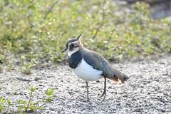 Lapwing (deanmorgan4) Tags: animals lapwing wwt birds wildlife nature
