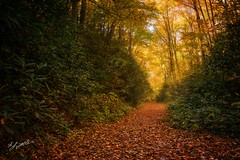 Golden Path (gaprunella) Tags: gold path woods forrest journey tree fall autumn schoolhousefalls hike park leaves orange yellow color nature explore northcarolina